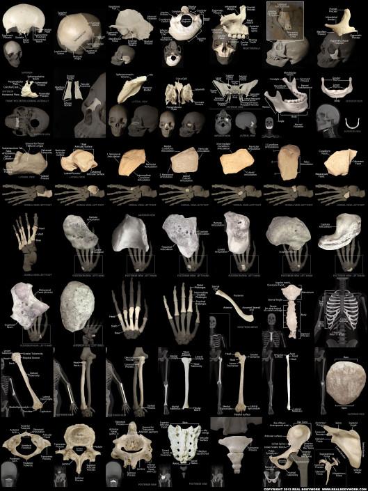 Human bones wall chart