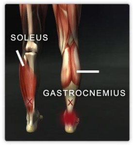 Soleus and gastrocnemius muscles