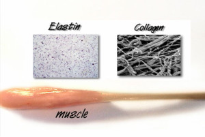 elastin and collagen