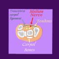 median nerve and carpal bones