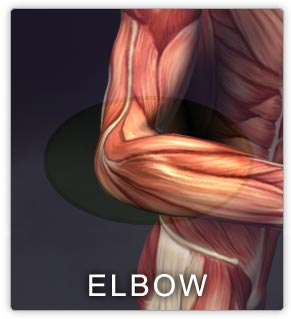 Muscles of the elbow