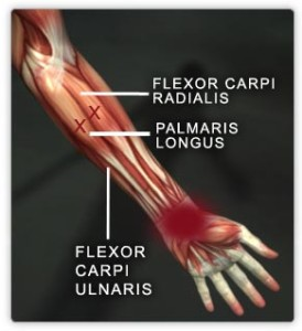 Wrist flexor muscles