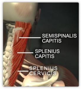 Splenius capitis and cervicis muscles