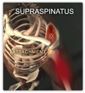 Supraspinatus Muscle