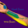 wrist muscles, thumb muscles and finger muscles