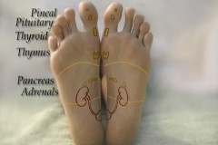 foot-reflexology-glands-reflexes