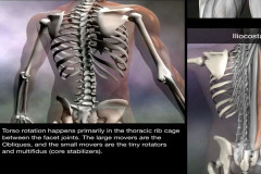 spine-muscles