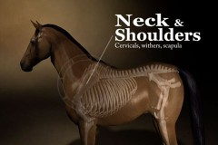 equine-neck-and-shoulders