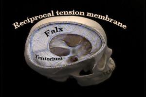 falx-cerebri and tentorium