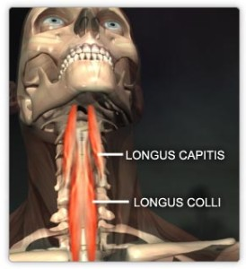 Longus capitis and longus colli muscles