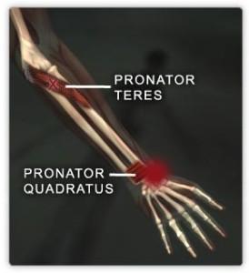 Pronator muscles
