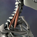 A side view of the scalene muscles. The action of the scalenes is side bending and rib lifting.