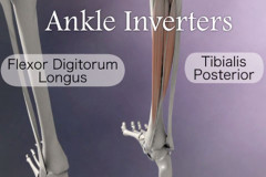 Ankle inverter muscles