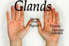 hand-glands