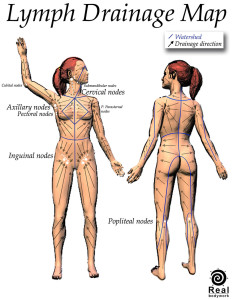 The drainage patterns for the lymphatic system