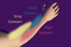 wrist-muscles