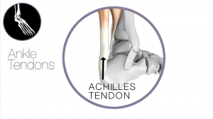 ankle achilles tendon